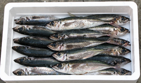 forage fish: horse mackerel in polystyrene box