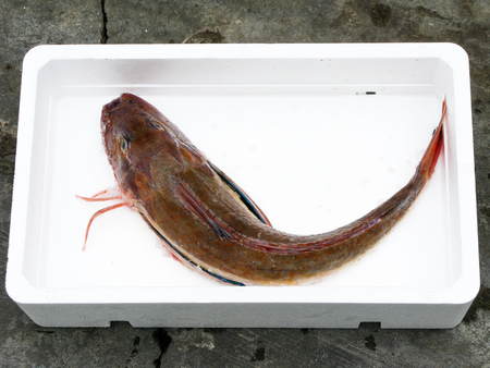 tub gurnard in white box photo