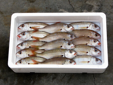 fresh mediterrean Blackspot Seabream, polystyrene box photo