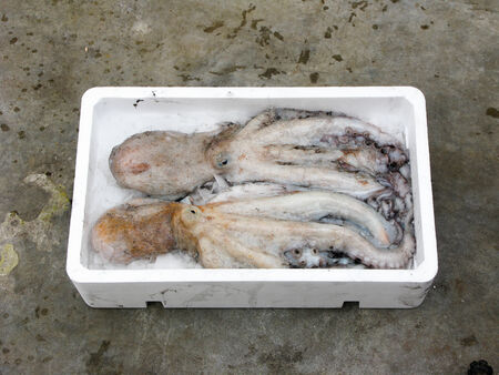 Fresh Mediterranean octopus, polystyrene box photo