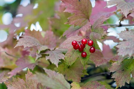 guelder rose: Closeup of bunches of red berries of a Guelder rose or Viburnum opulus shrub on a cloudy day at the autumn season.