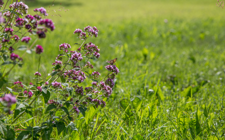 Purple flowers of origanum vulgare or common oregano, wild marjoram. Sunny day
