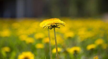greengrass: Field of yellow dandelions Stock Photo