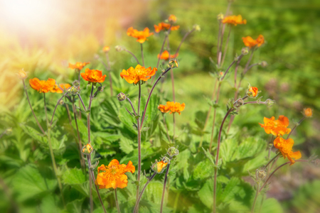 Small bright red orange flowers in the sunlight. Spring summer nature background. Stock Photo