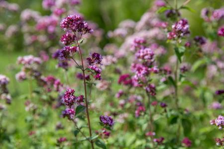 Purple flowers of origanum vulgare or common oregano, wild marjoram.