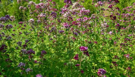 wild marjoram: Purple flowers of origanum vulgare or common oregano, wild marjoram.