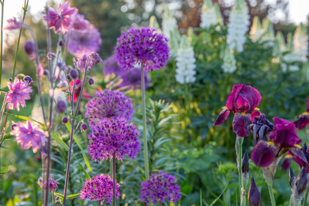 Romantic flowerbed in purple tones.Beautiful colorful flowers - iris, onion decorative, aquilegia, lupins.