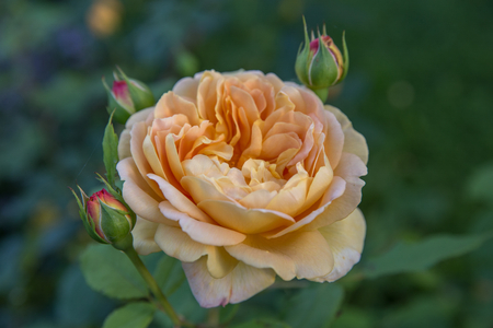 scent: Blooming yellow rose in the garden on a sunny day.