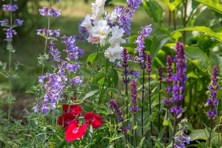 Achtergrond of textuur van Salvia nemorosa Caradonna Balkan Clary, Nepeta fassenii Six Hills Giant, leeuwebek, anjer in een Country Cottage Garden in een romantische, rustieke stijl. Stockfoto