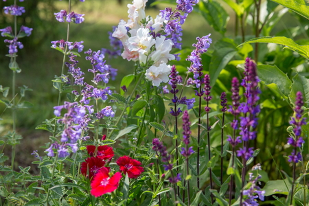 Background or Texture of Salvia nemorosa Caradonna Balkan Clary , Nepeta fassenii Six Hills Giant, snapdragon, carnation in a Country Cottage Garden in a romantic rustic style. Stock Photo