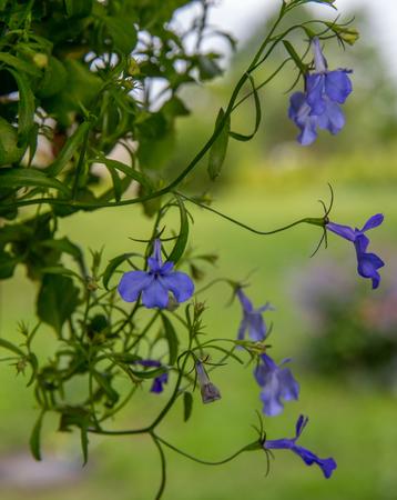 Spring lobelia, tiny blue flowers. Summer background