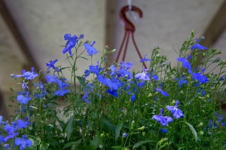 Small blue flowers, pendant basket on the summer terrace. Lobelia