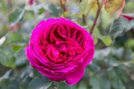 Blooming pink English rose in the garden on a sunny day. David Austin Rose Othello