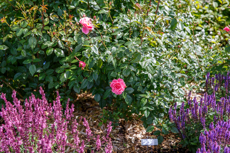 Pink English rose shrub on pink and purple salvia background in garden on suuny day Stock Photo