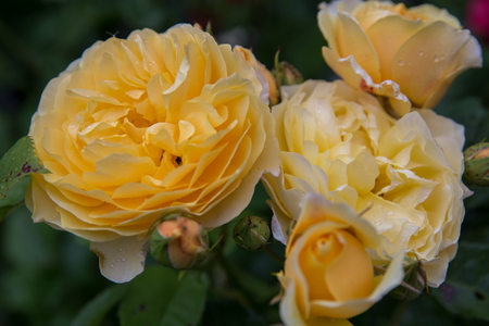 Blooming yellow orange English roses in the garden on a sunny day. Rose Graham Thomas.