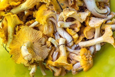 Forest mushrooms chanterelles closeup on a yellow background Stock Photo