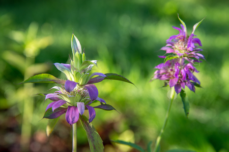 Lemon Beebalm, also known as Horsemint Stock Photo