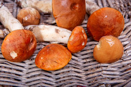 Wild fresh mushrooms on a rustic wooden table. Orange Birch Bolete. Copyspace. Autumn background