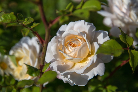 Blooming rose in the garden on a sunny day. David Austin Rose Crocus Rose