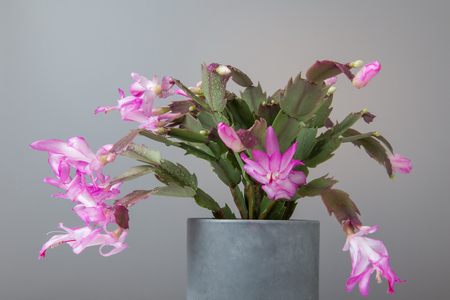 Blooming Pink Christmas Cactus schlumbergera in a pot on white background. Epiphyllanthus, Epiphyllum, Zygocactus, Zygocereus