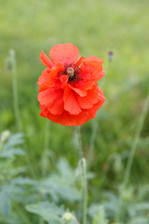 Single flower of wild red poppy on green background with focus on flower, Stock Photo