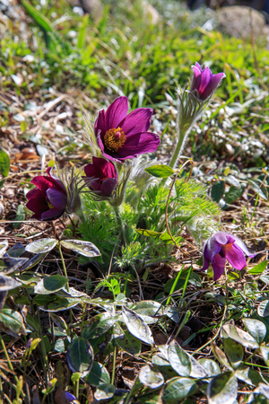 First spring blooming flower, purple plant macro, lumbago flower, dream grass, sleep-grass, symbol of spring. Latvia, Europe