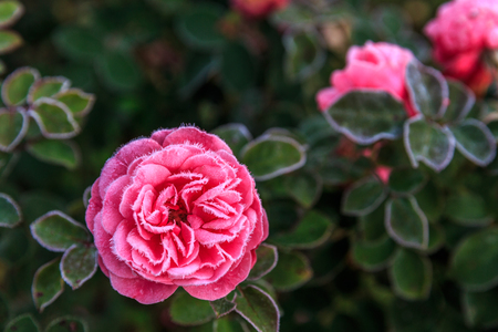 Winter in the garden. The first frosts and frozen rose flowers.