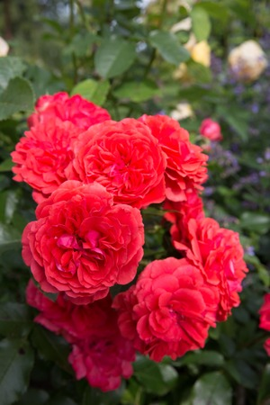Beautiful branch red coral nostalgic roses close up in a garden after rain. Shrub rose Uetersens Rosenkonigin. German rose. Rosen Tantau.