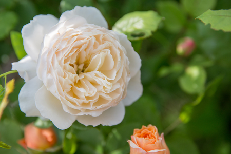 Beautiful white nostalgic english rose close up in a garden sunning day. Nature background. Shallow depth of field