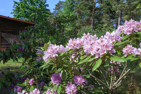 Blooming pink purple rhododendron in a park or garden in spring on a sunny day against a background of green grass. Spring flowers, plants, bush