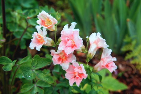 White Snapdragon or Antirrhinum. Close up snap dragon flower in garden as colorful background or card. Snapdragon has been known since antiquity. Lovely Snapdragons Plant flowers at a botanical garden.
