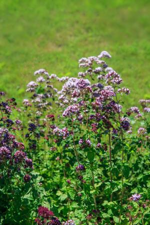 Purple flowers of origanum vulgare or common oregano, wild marjoram. Sunny day.
