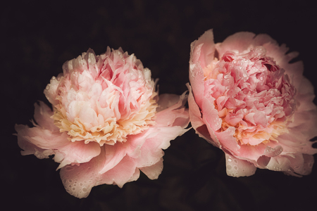 bouquet of pink peonies, dark background,