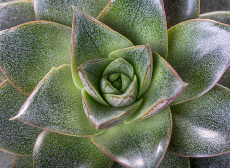 Succulent Echeveria flower green close-up, top view, macro shot, symmetry in nature Imagens