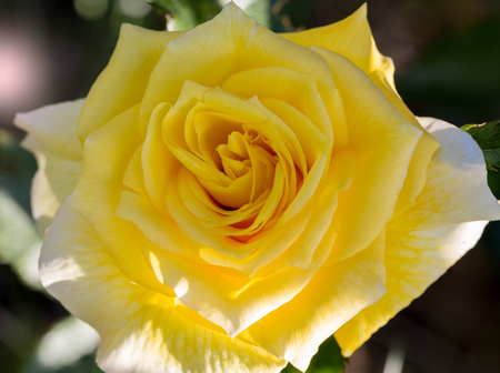 Close-up of a yellow rose revealing its patterns, textures, and details