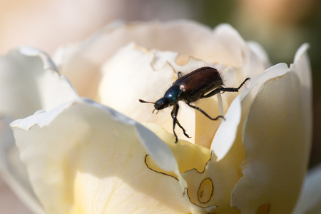 A garden beetle or juniper beetle on a leaf
