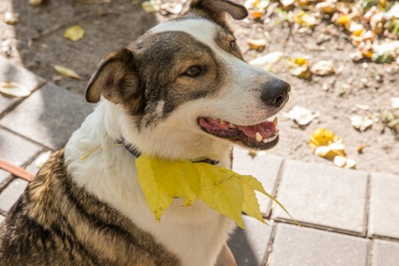 Happy dogs, white and light brown, are smiling and rejoicing in autumn. Dogs in autumn leaves.