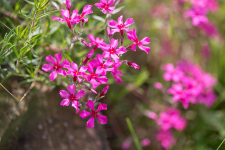 Purple flowers of a styloid phlox in the spring. Siberian country house