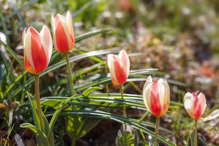 Red-yellow-white Tulipa Authority in the rays of the suns in the garden on a sunny spring day 写真素材