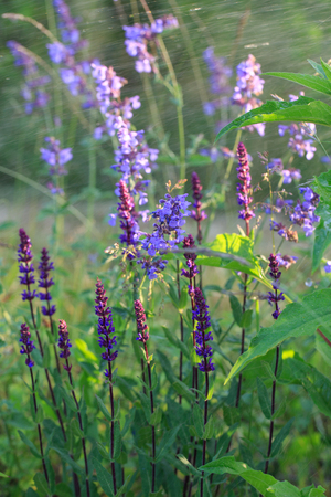 Background or Texture of Salvia nemorosa Caradonna Balkan Clary on a summer day during the rain Imagens