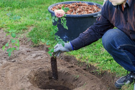 Gardener plants a rose bush in a dug hole