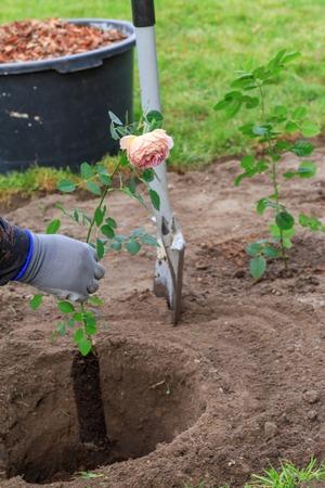 Gardener plants a rose bush in a dug hole