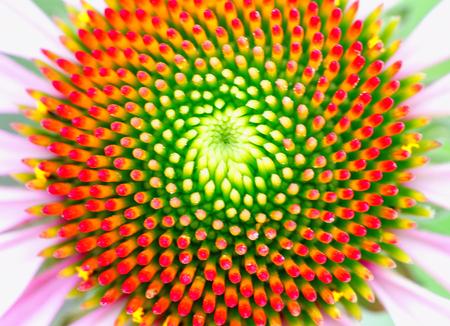 Centro de la hermosa equinácea que muestra el patrón de fibonacci Foto de archivo
