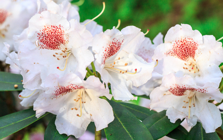 Red rhododendron Nova Zembla, lush bloom in the nursery of rhododenrons.