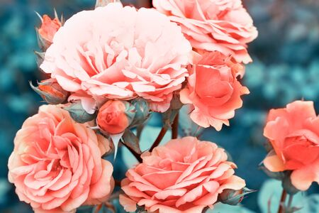 Beautiful living coral roses flowers in garden close up. Tinted effect
