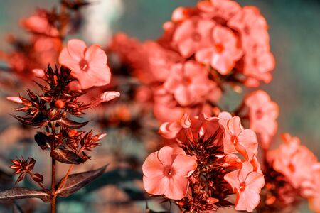 Beautiful living coral flowers in garden close up. Tinted effect Фото со стока