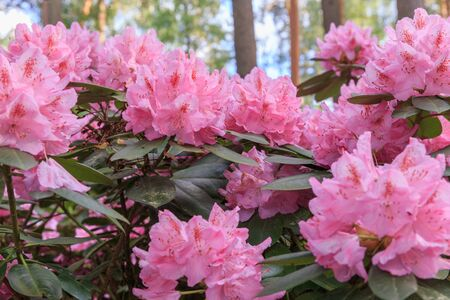 Pink rhododendron, lush bloom in the nursery of rhododenrons.