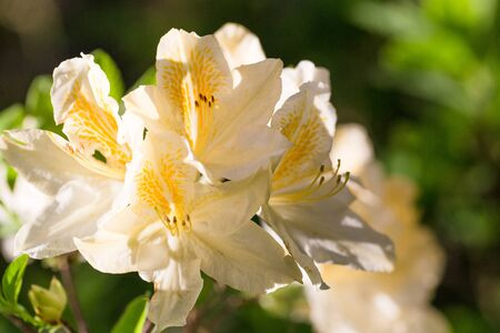 White with orange and yellow splashes rhododendron , lush bloom in the nursery of rhododenrons.