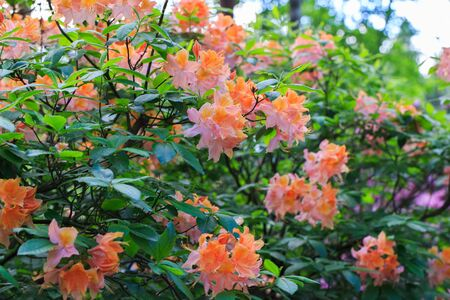 White with orange and pink splashes rhododendron