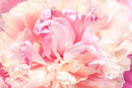 Pétales de rose flou flou, fond de romance abstraite, pastel et carte de fleurs douces Banque d'images